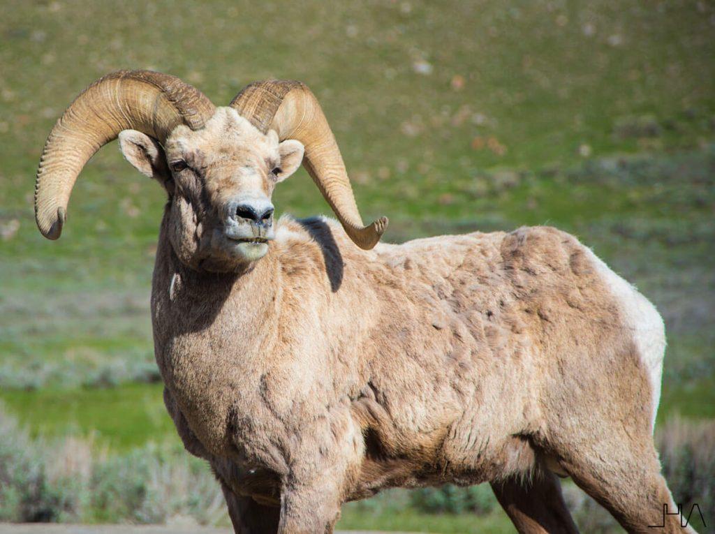 wildlife-bighorn
