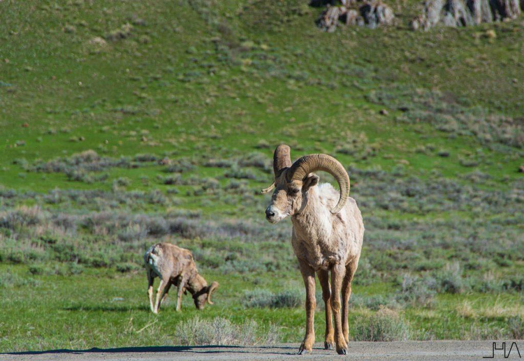 wildlife-yellowstone-bighorn